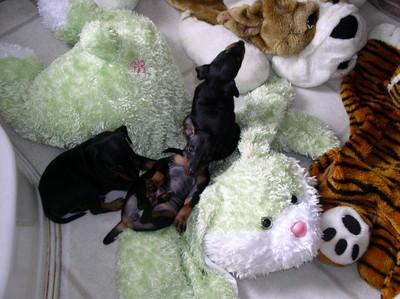 PuppyBelly2